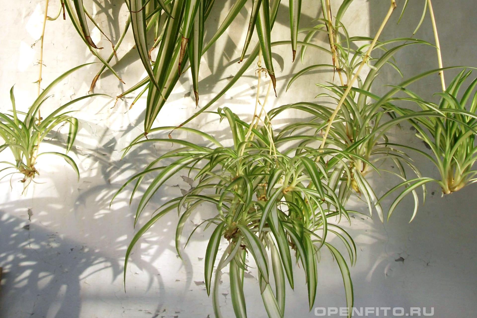 Хлорофитум хохлатый отводки растения