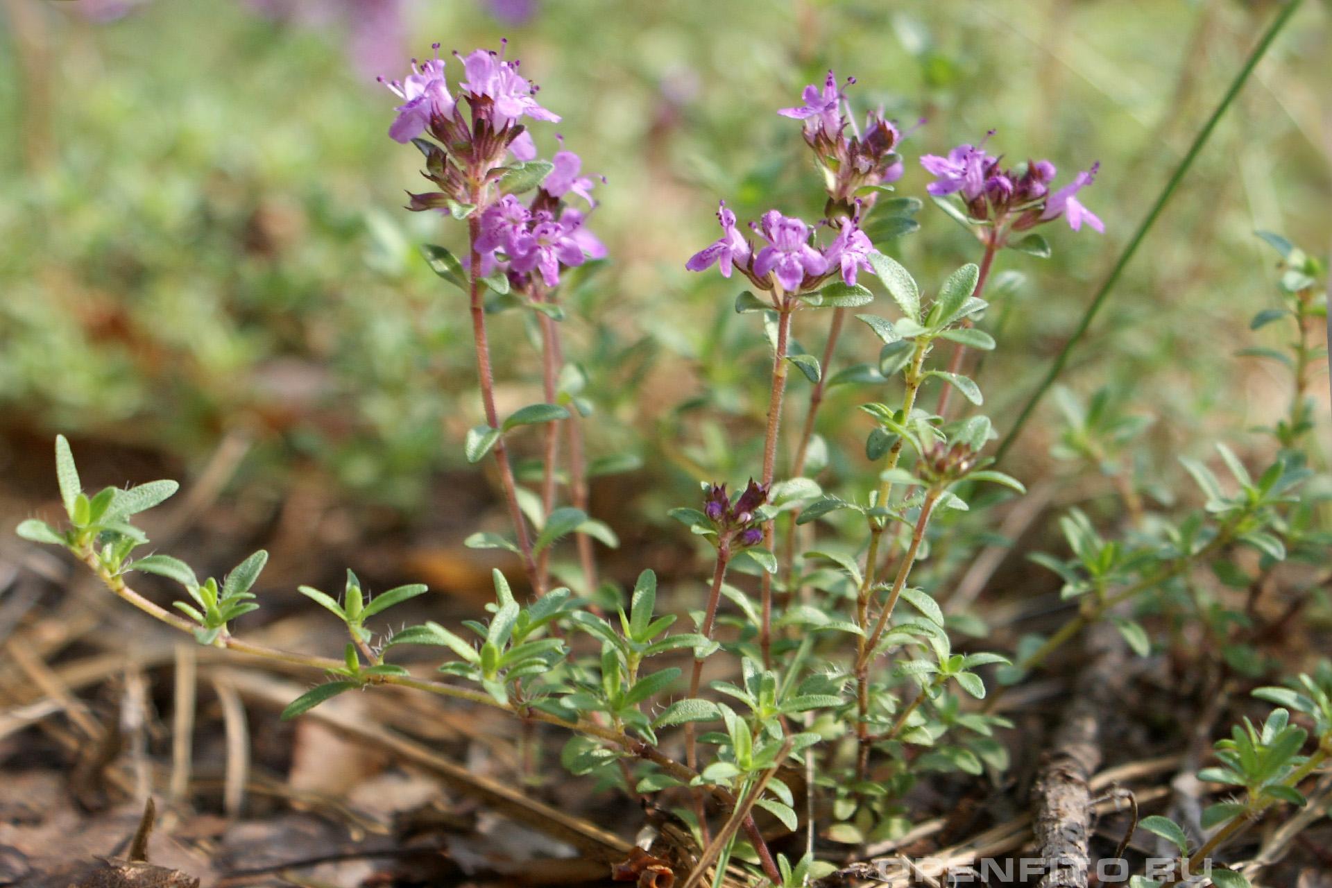 Тимьян ползучий цветущее растений