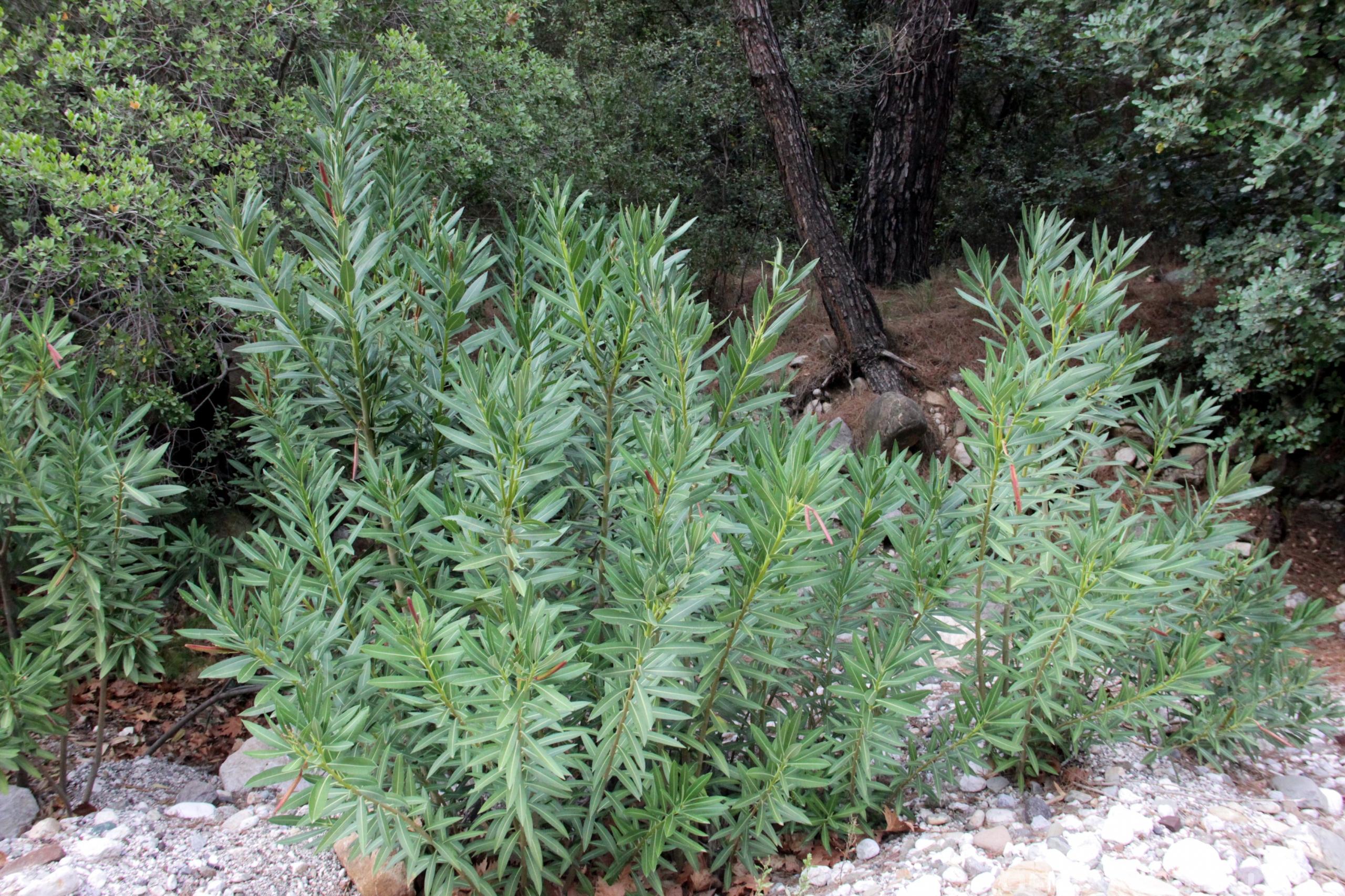 Олеандр обыкновенный ядовитое растение
