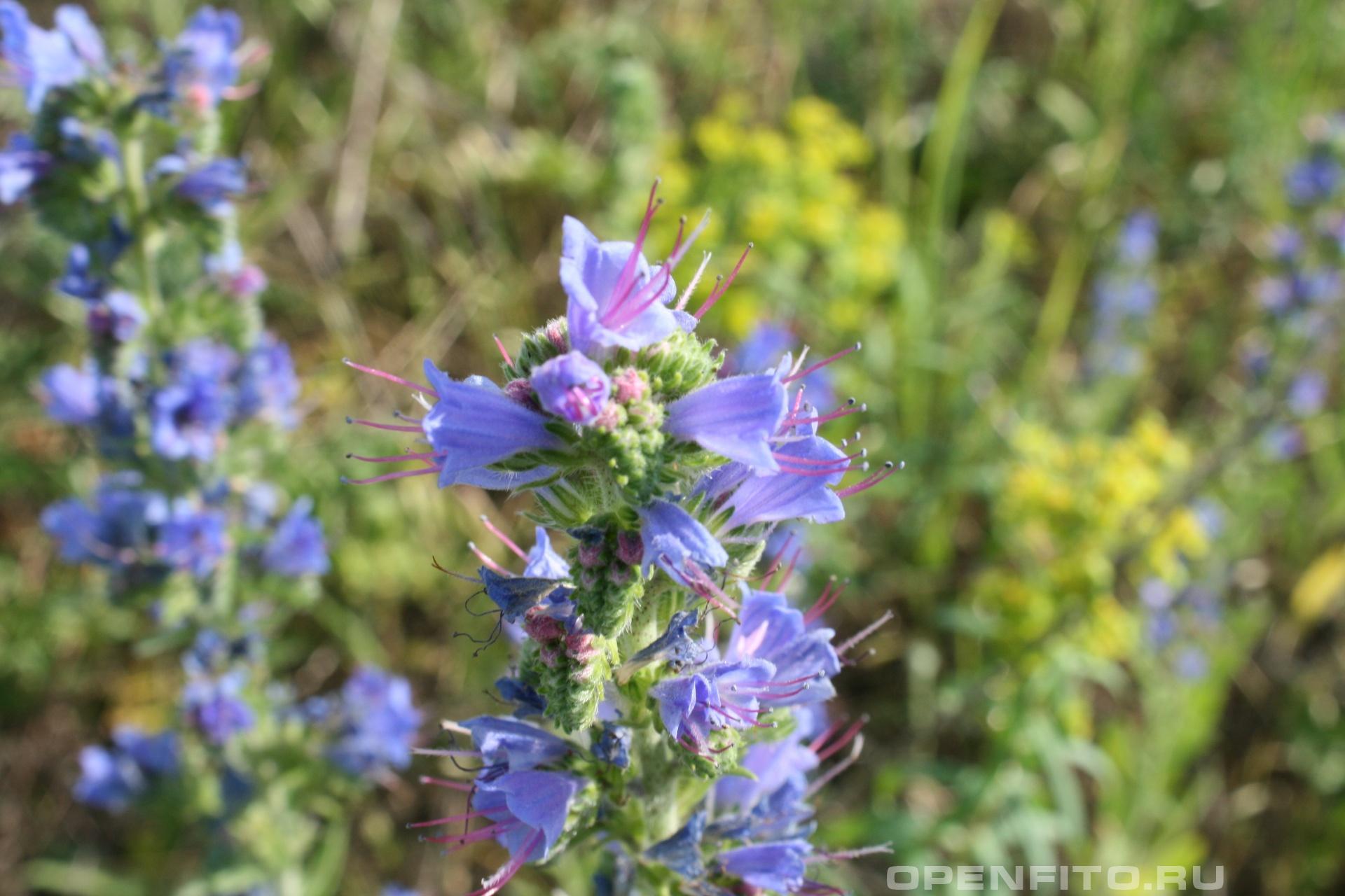 Синяк цветет в июне-июле