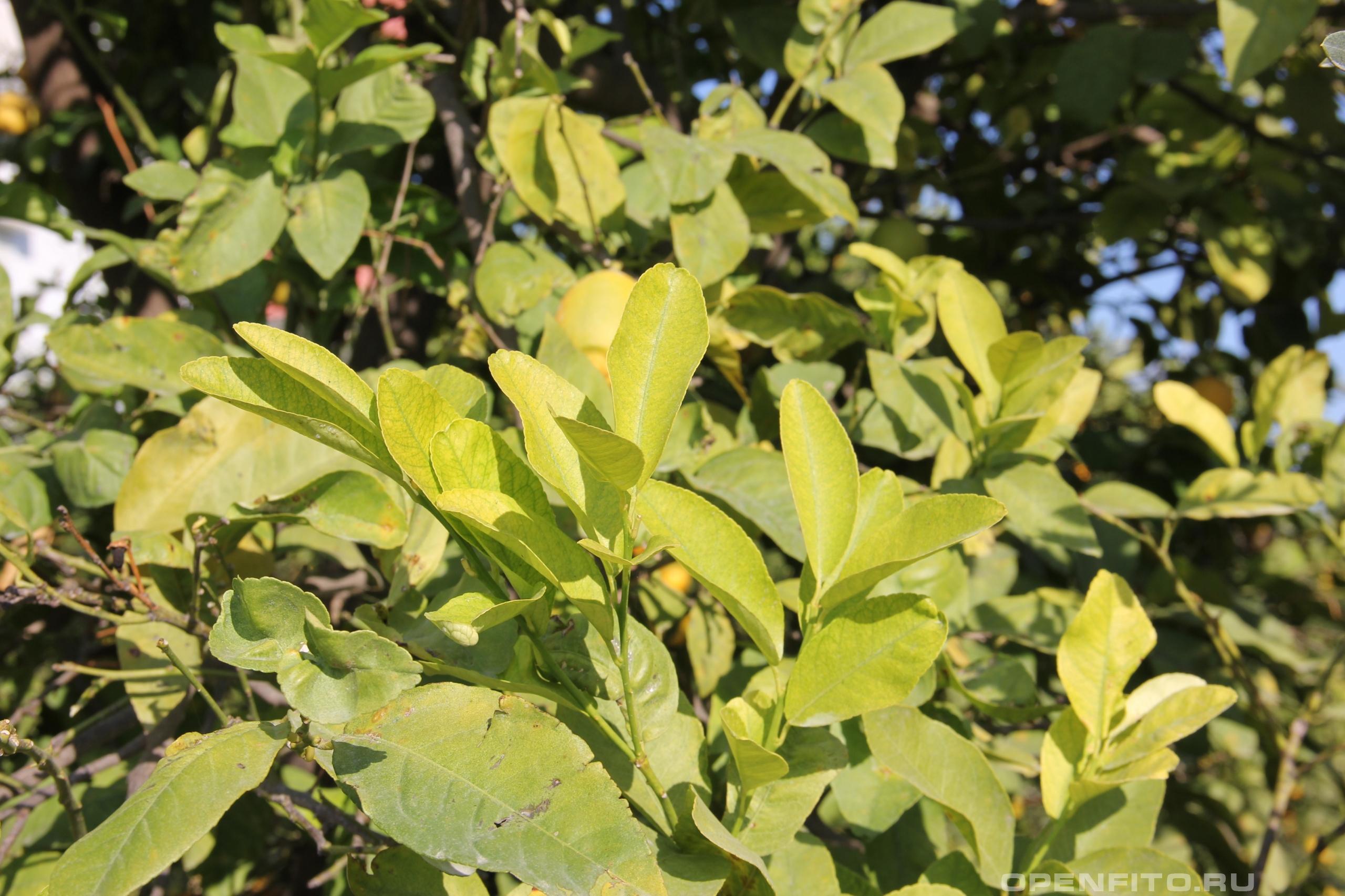 Цитрус лимон листья