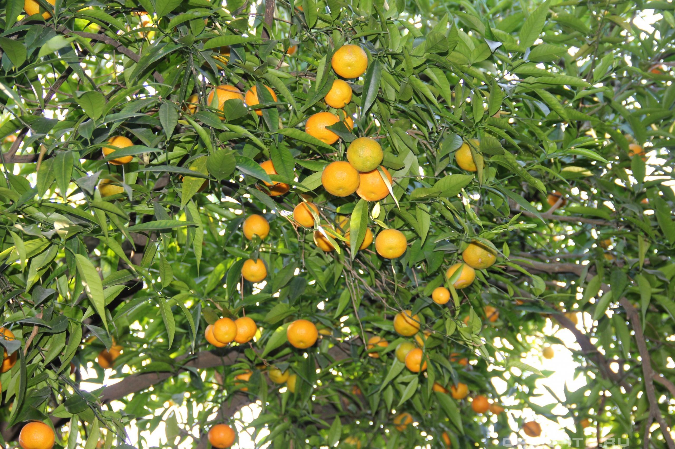 Цитрус сетчатый или мандариновое дерево