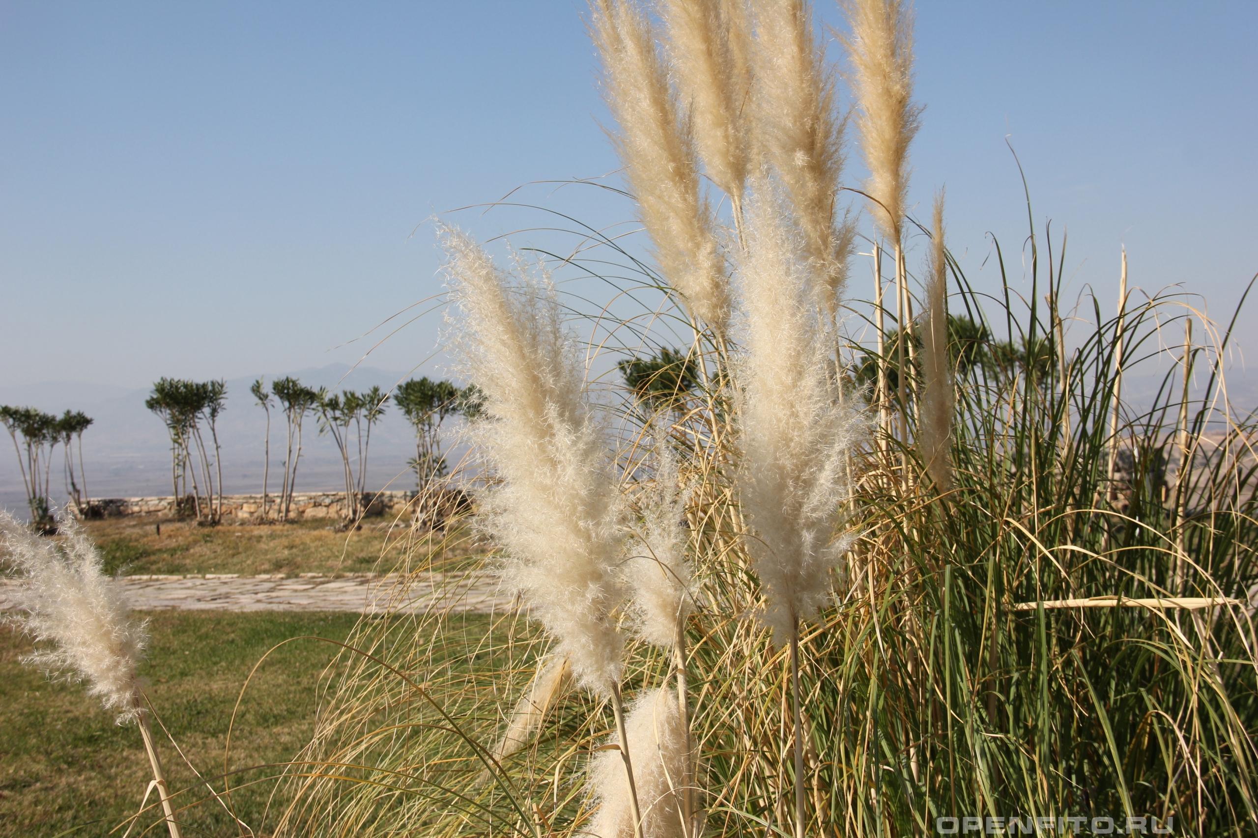 Арундо тростниковый огромная трава похожая на тросник