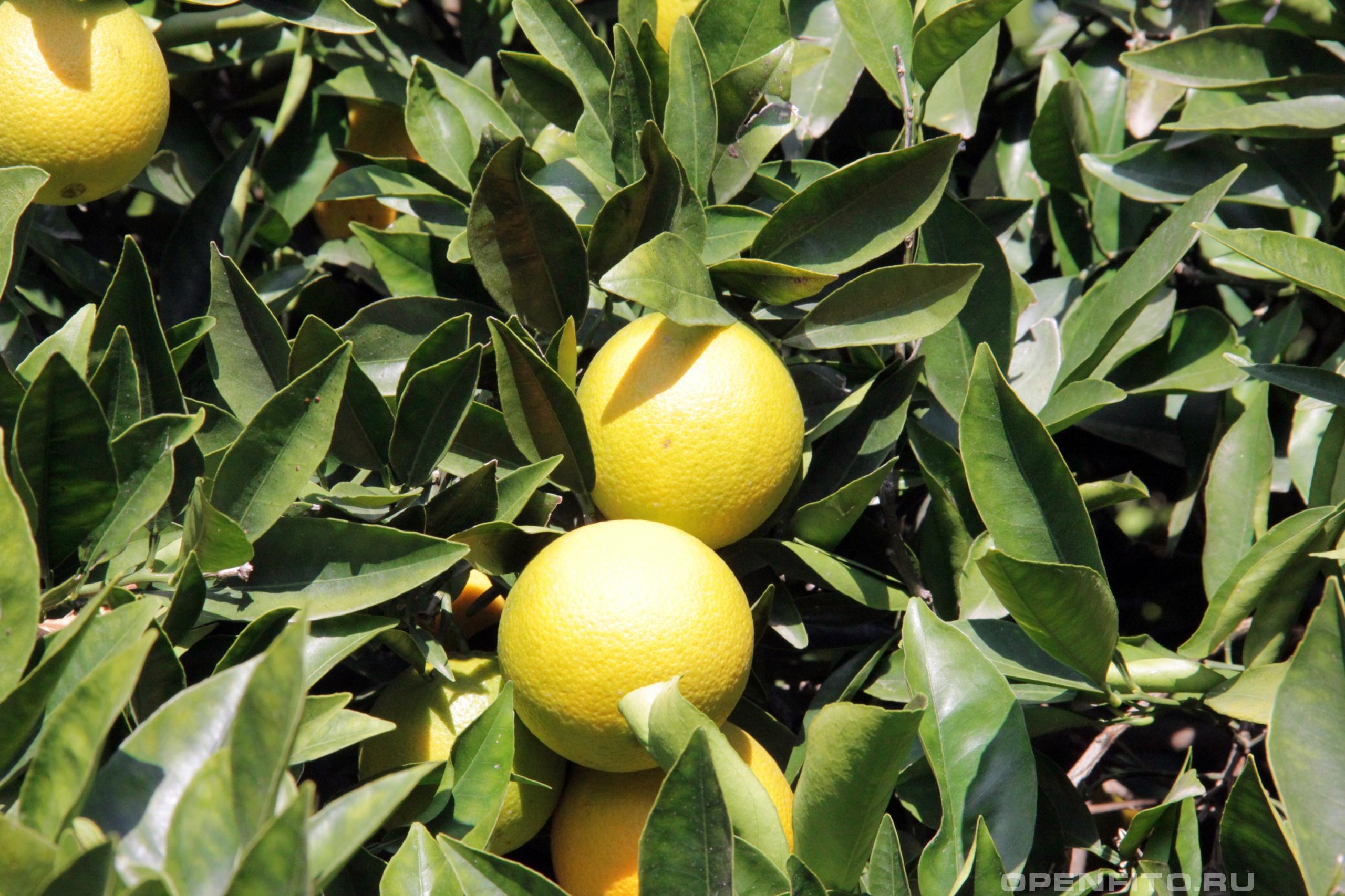 Апельсин сладкий листья и плоды