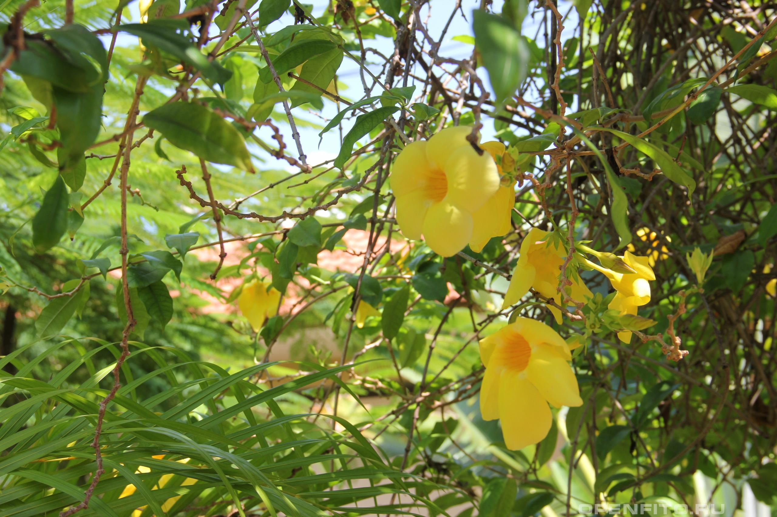 Пенталинон желтый побеги с цветами