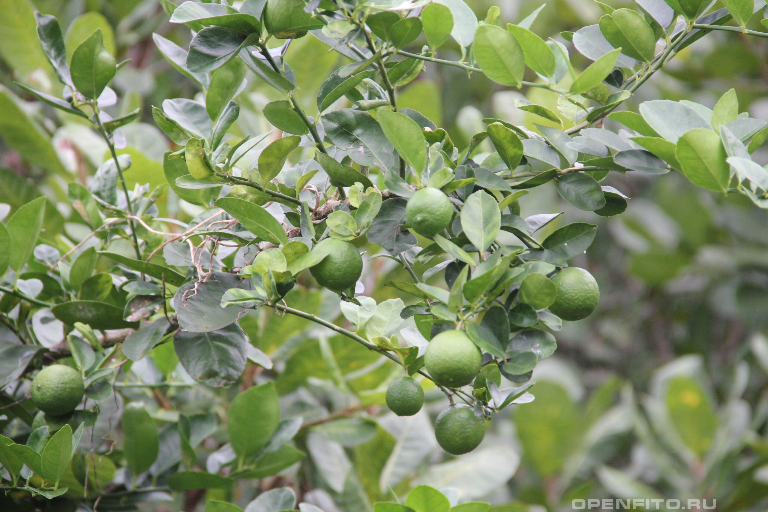 Цитрус лайм веточки с плодами