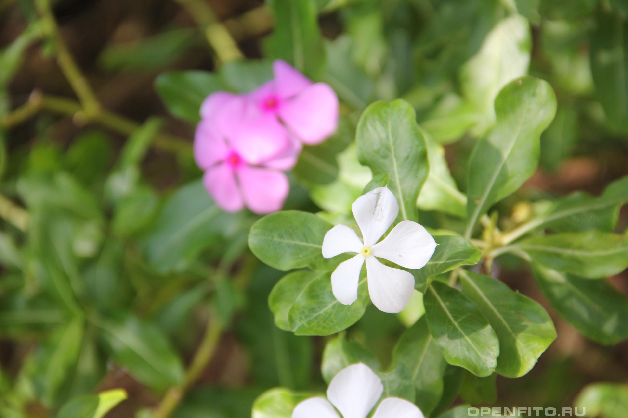 Катарантус розовый иногда его называют барвинком розовым, бывает белым и розовым