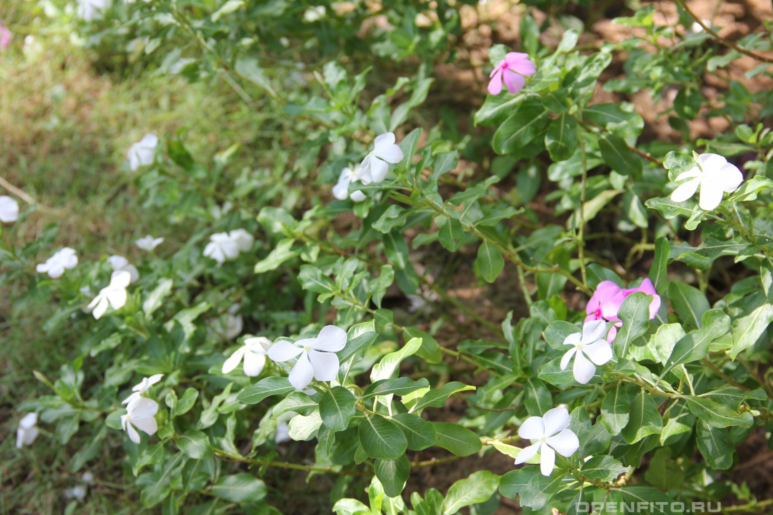 Катарантус розовый цветет белым и розовым