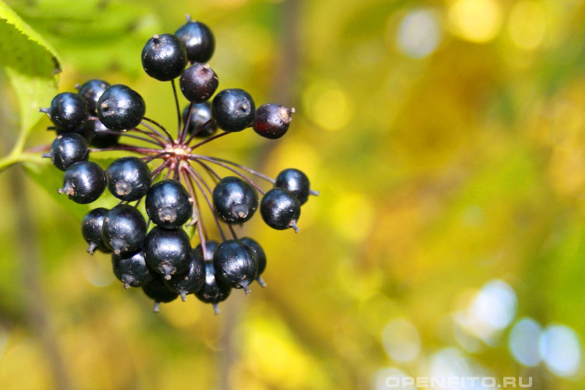 Свободноягодник колючий <p>созревшие ягоды элеутаракокка</p>