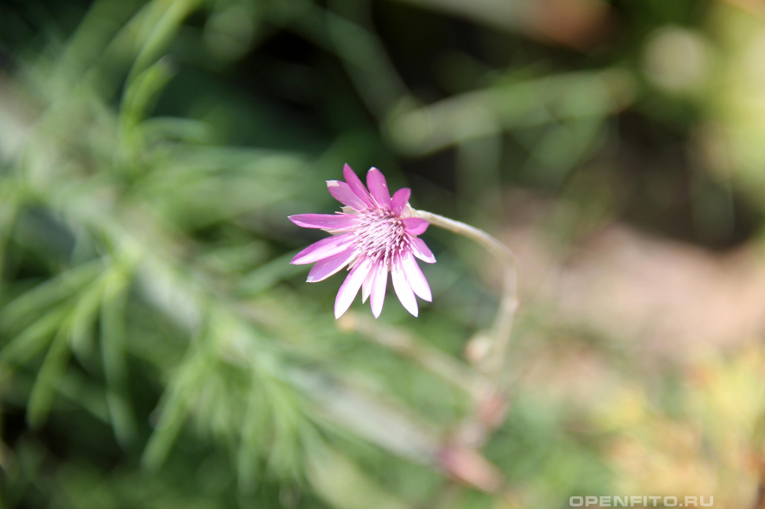 Сухоцвет однолетний одиночный цветок бессмертника