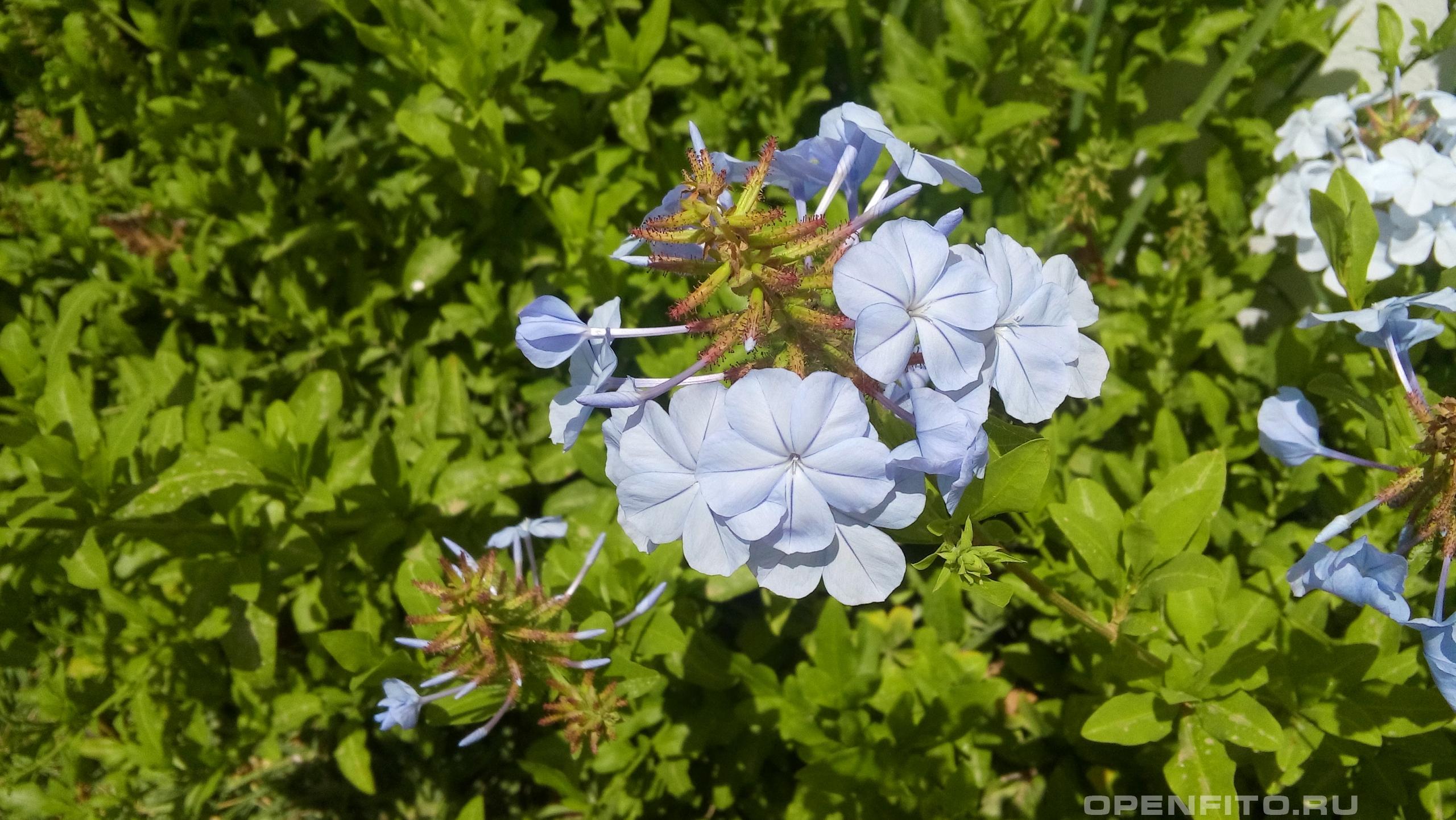Свинчатка ушковидная садовое растение
