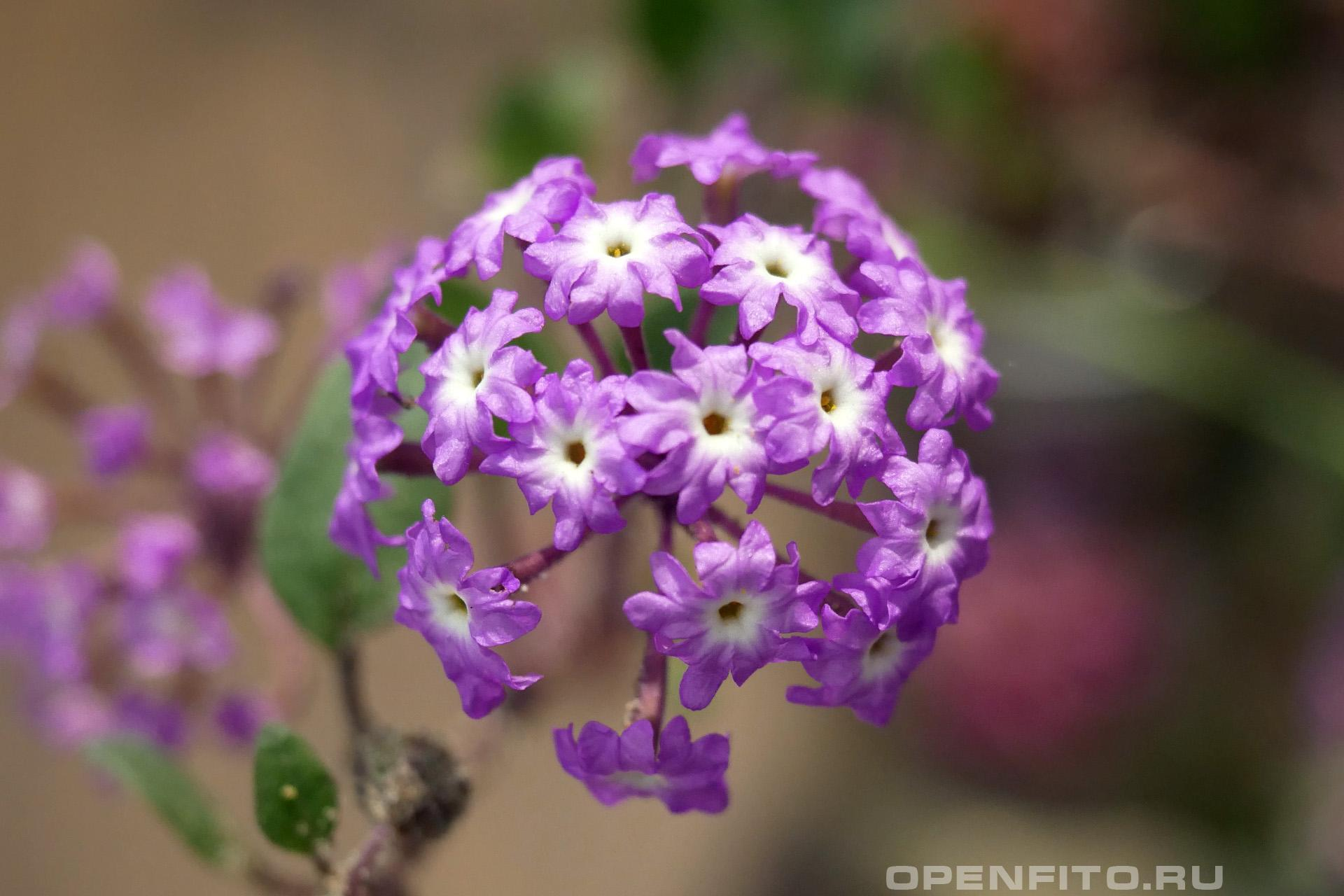 Аброния зонтичная соцветие