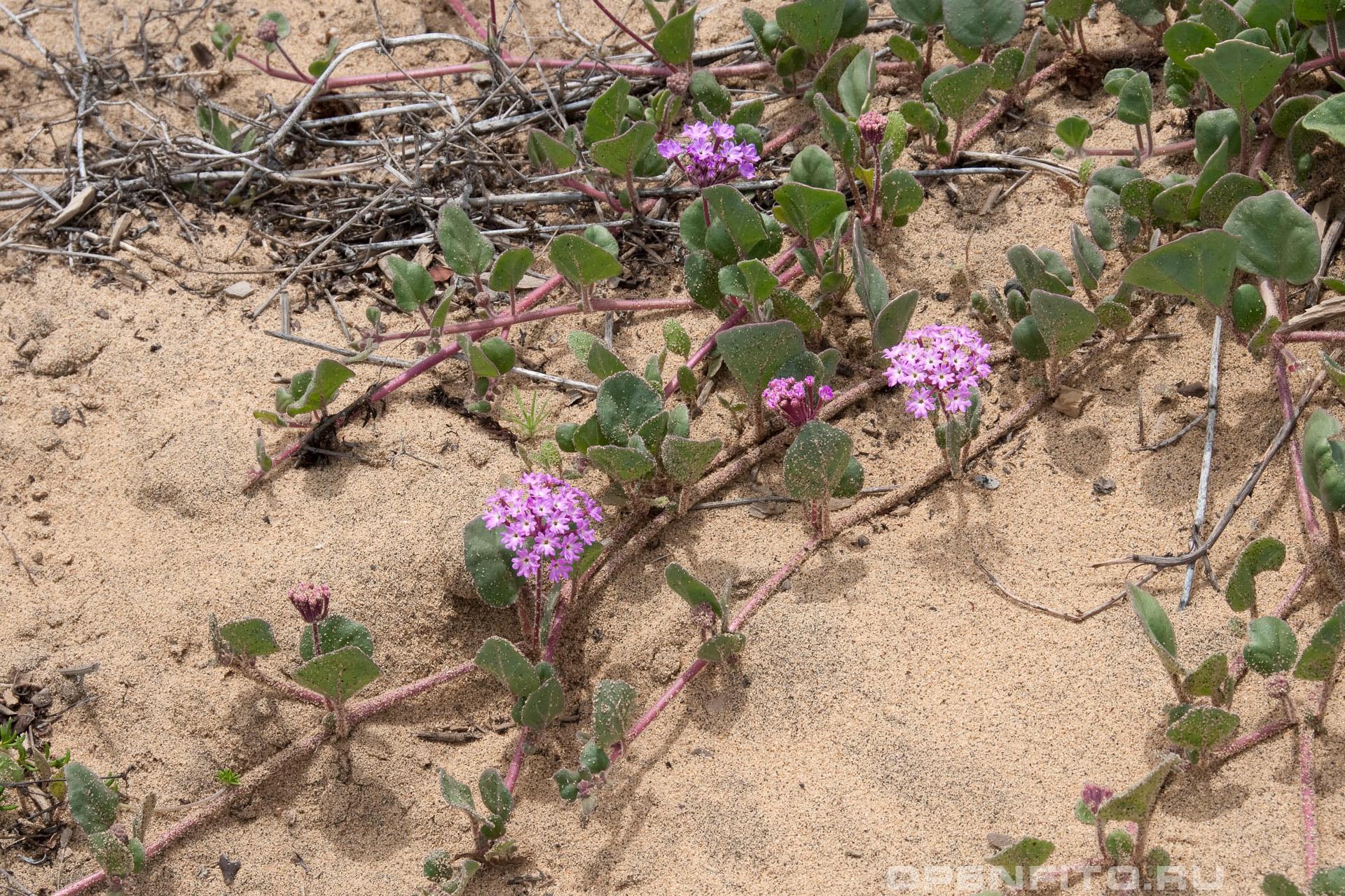 Аброния зонтичная вьющиеся побеги и цветки на них