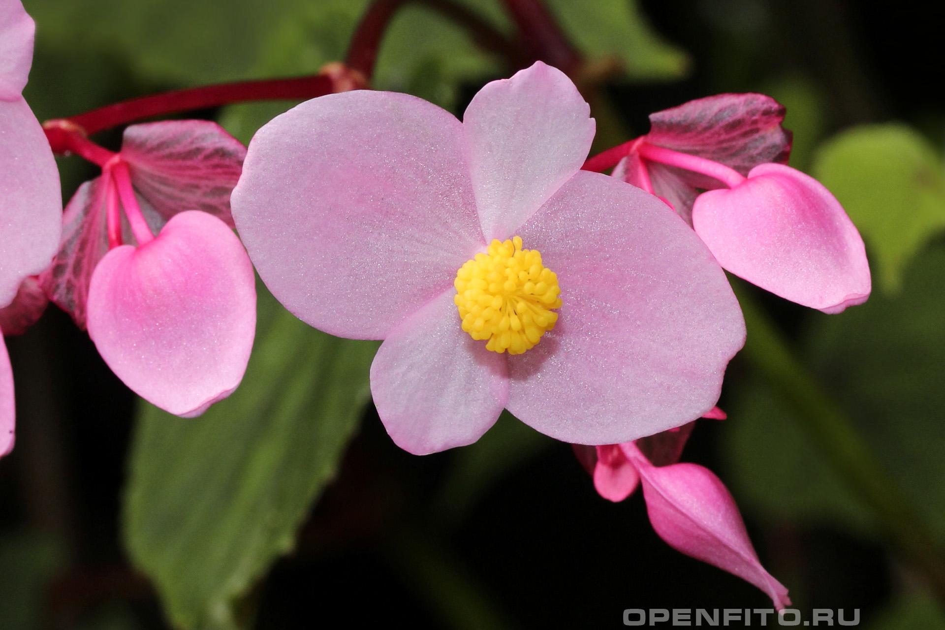 Бегония садовая популярный садовый и домашний цветок, другое название: Бегония вечноцветущая