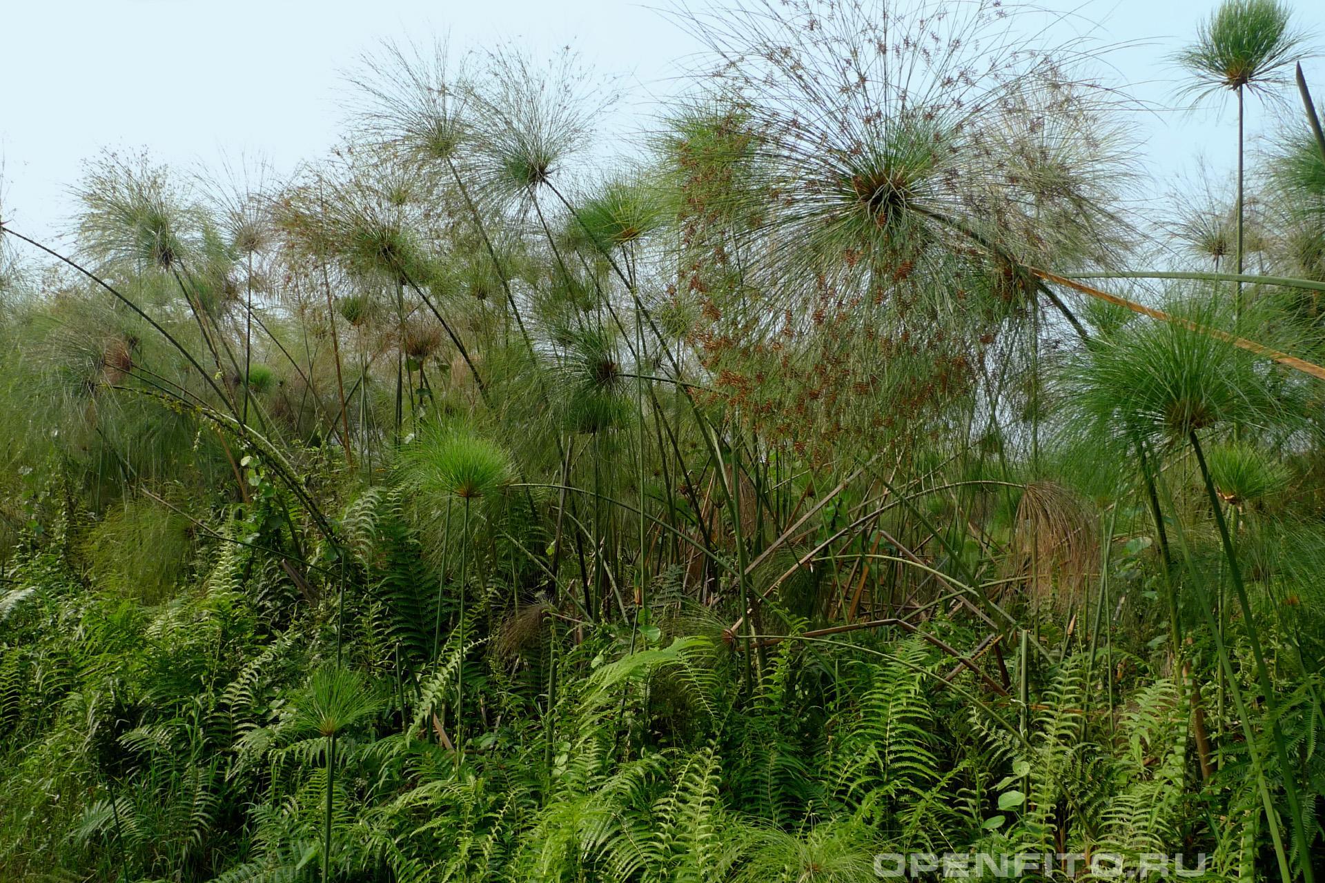 Сыть папирусовая из этого растения раньше производили папирус