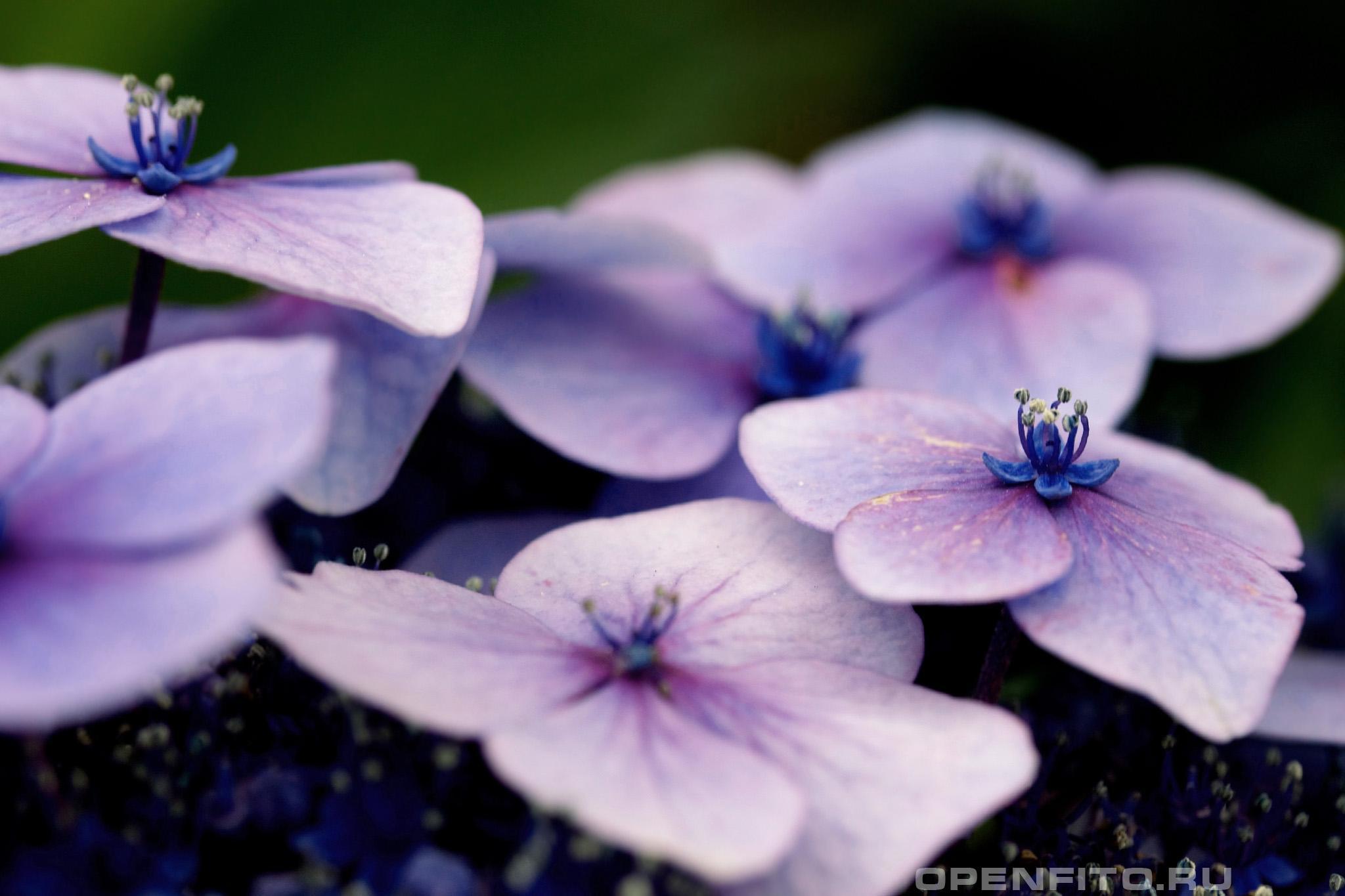 Гортензия садовая внешние цветки крупным планом