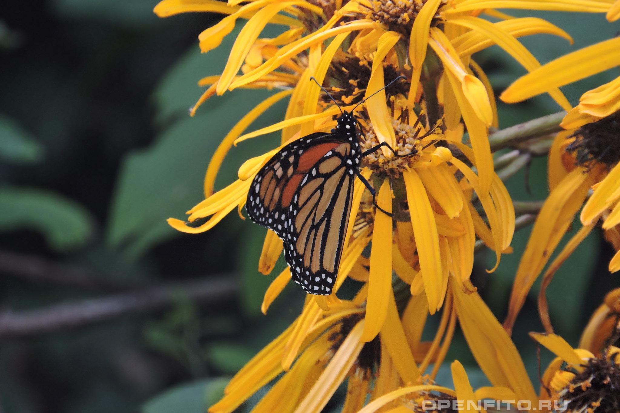 Бузульник зубчатый бабочка на цветке