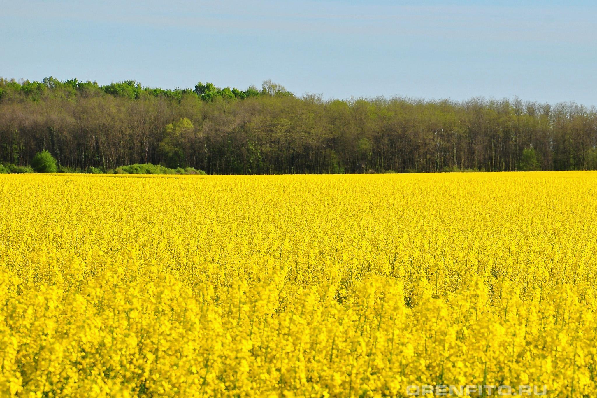 Капуста брюква желтые поля брюквы, наиболее часто встречающиеся в России