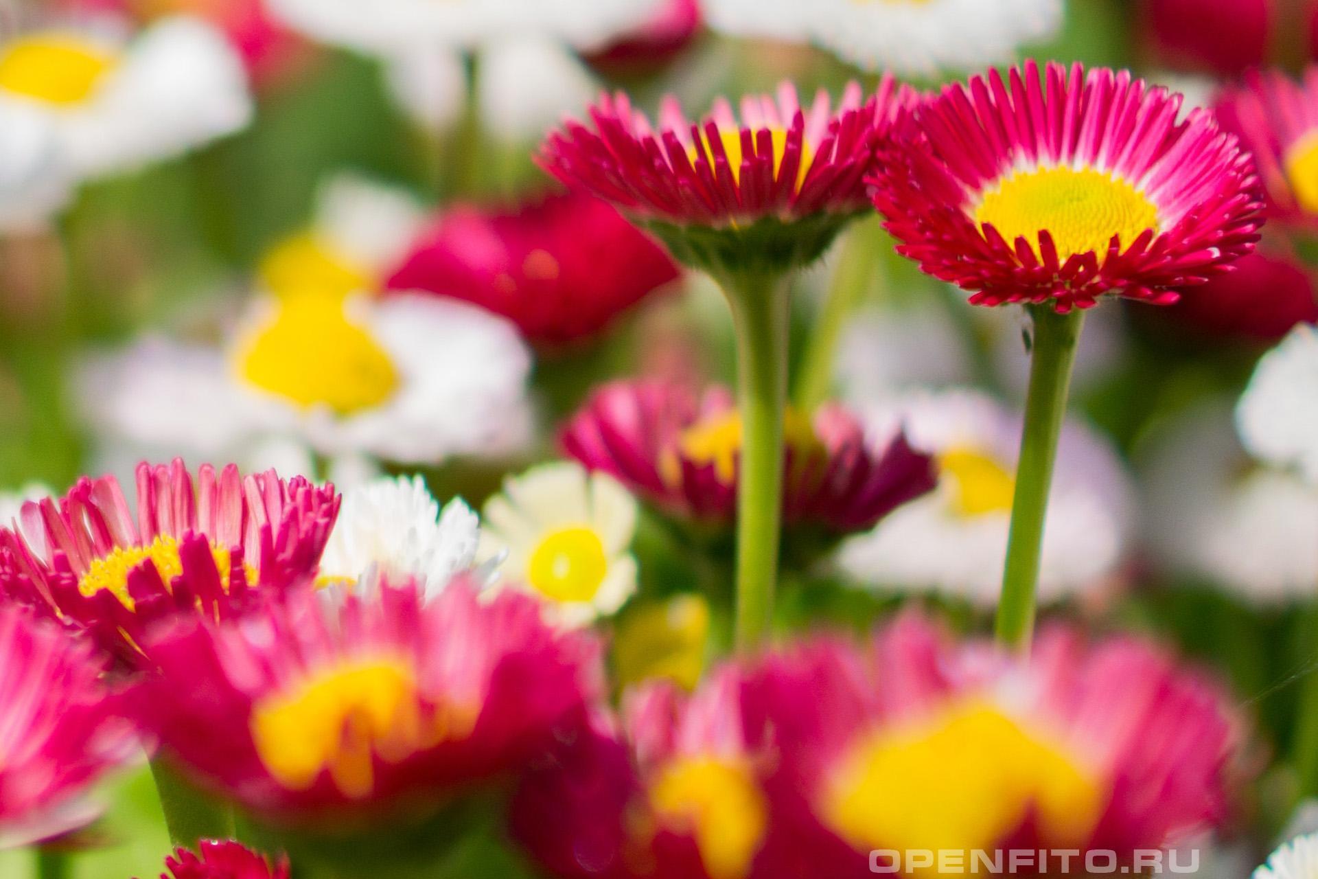 Маргаритка обыкновенная маленькое, но красивое садовое растение