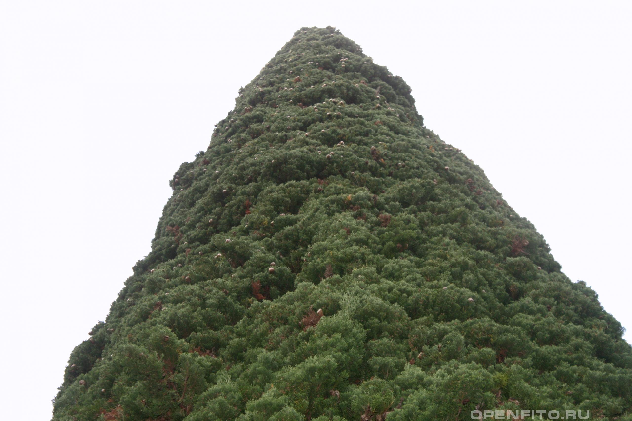 Кипарис вечнозеленый старое дерево