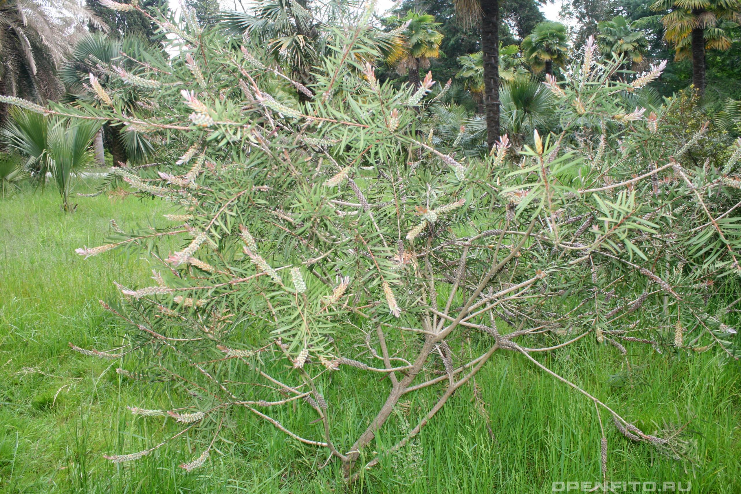Каллистемон лимонный молодое растение