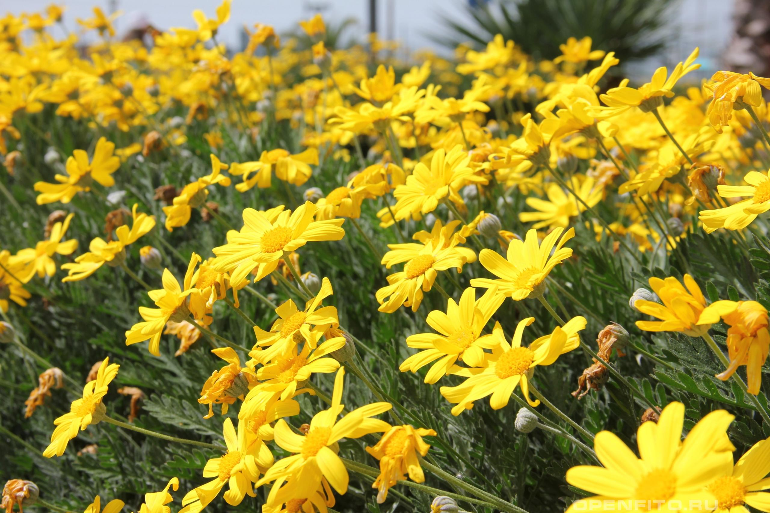 Эуриопс гребенчатый клумба из цветов