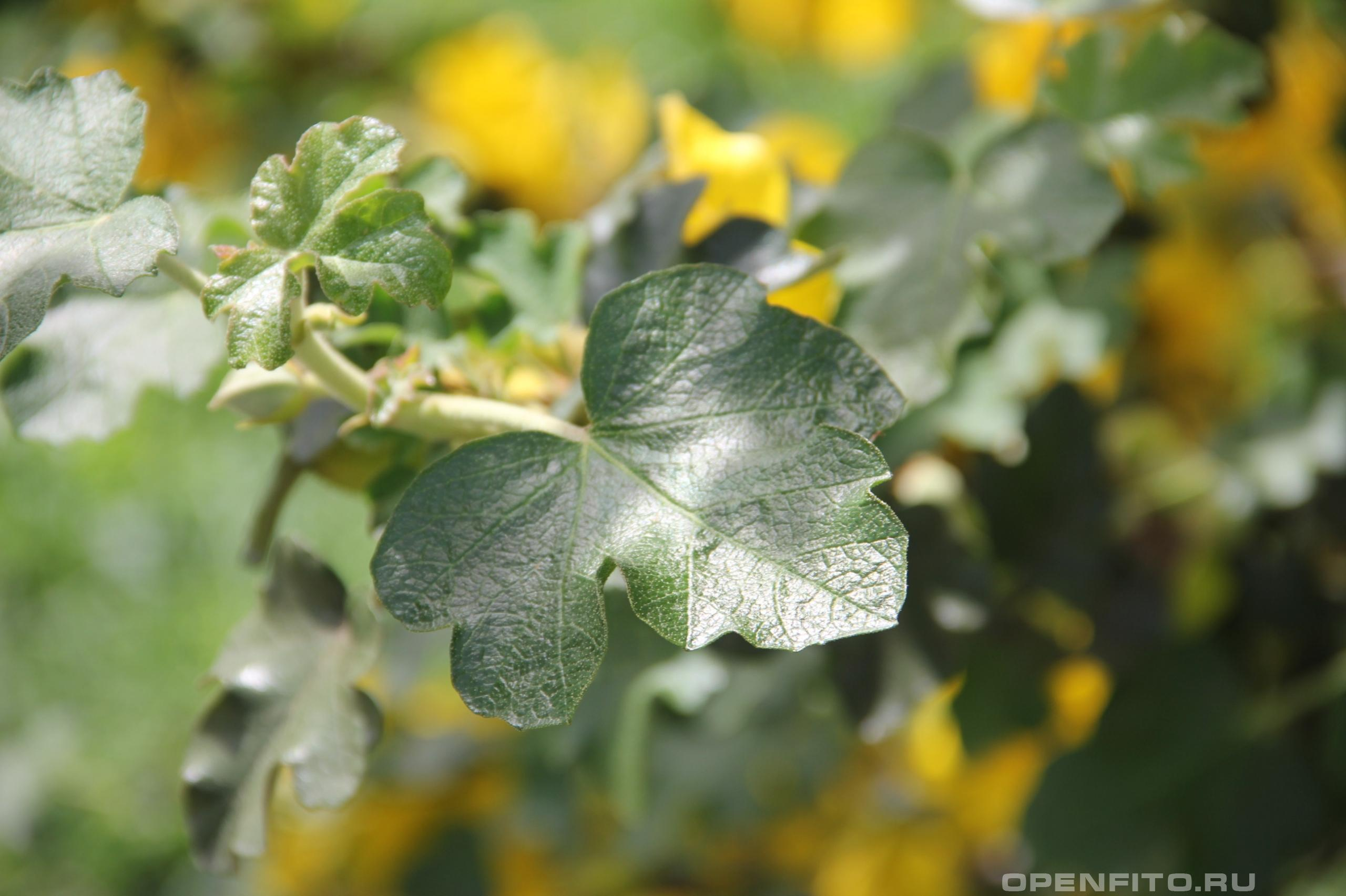 Фремонтодендрон калифорнийский лист