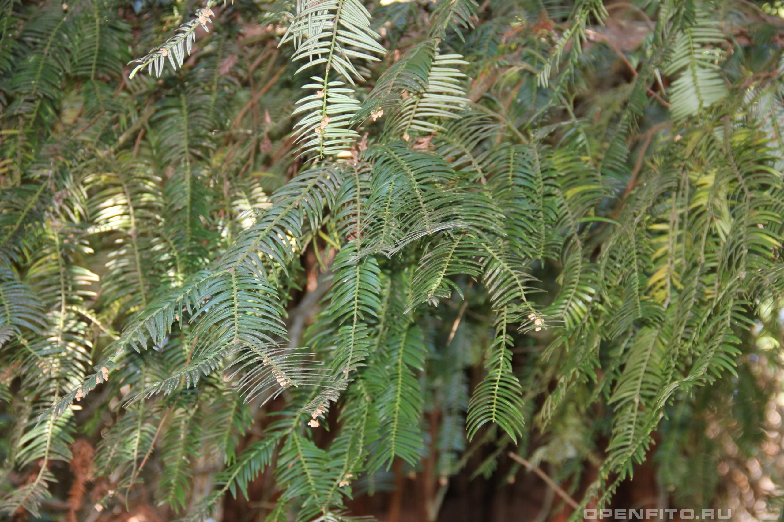 Тисс головчатый веточки взрослого растения
