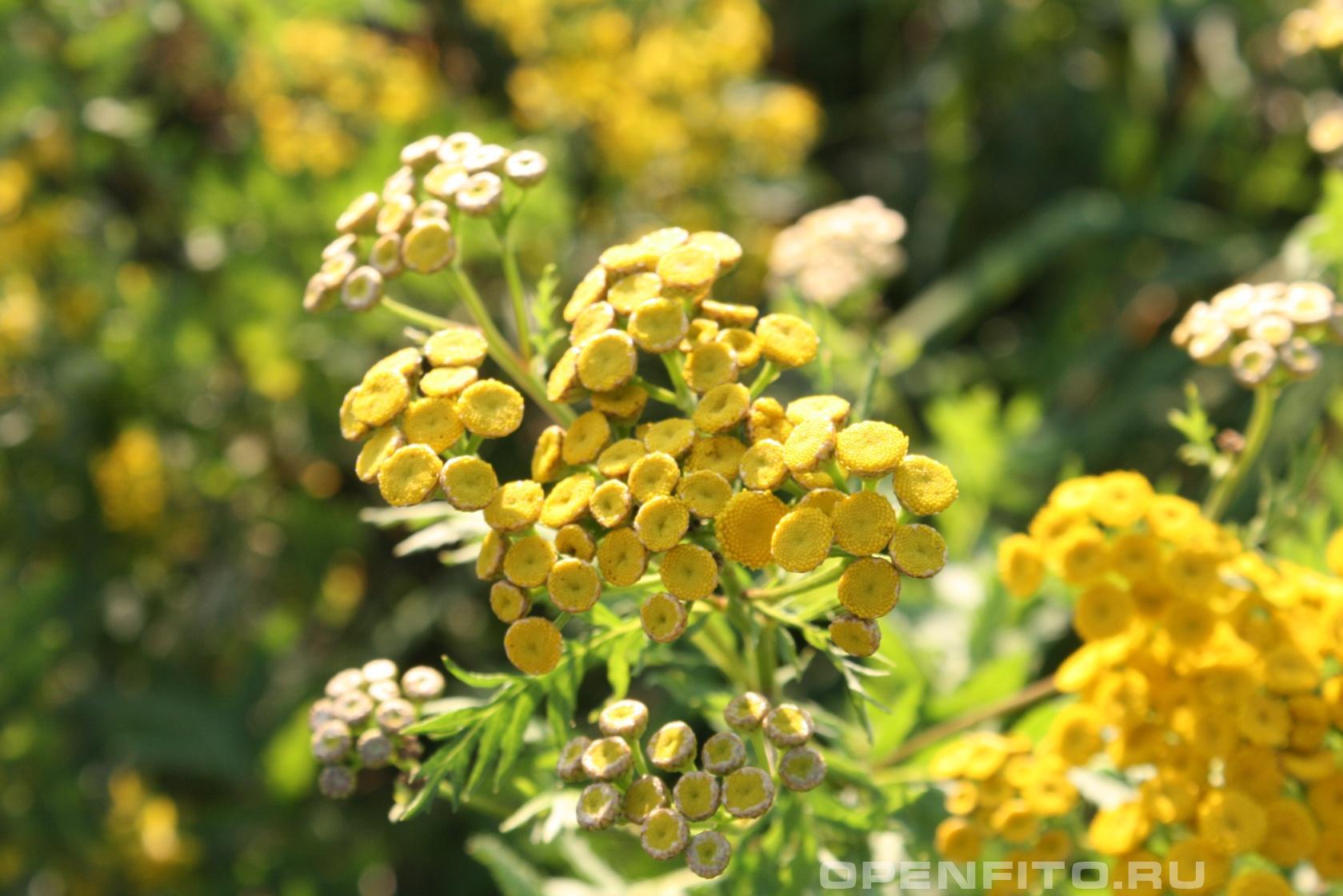 Пижма обыкновенная <p>Душистое растение от вредителей</p>