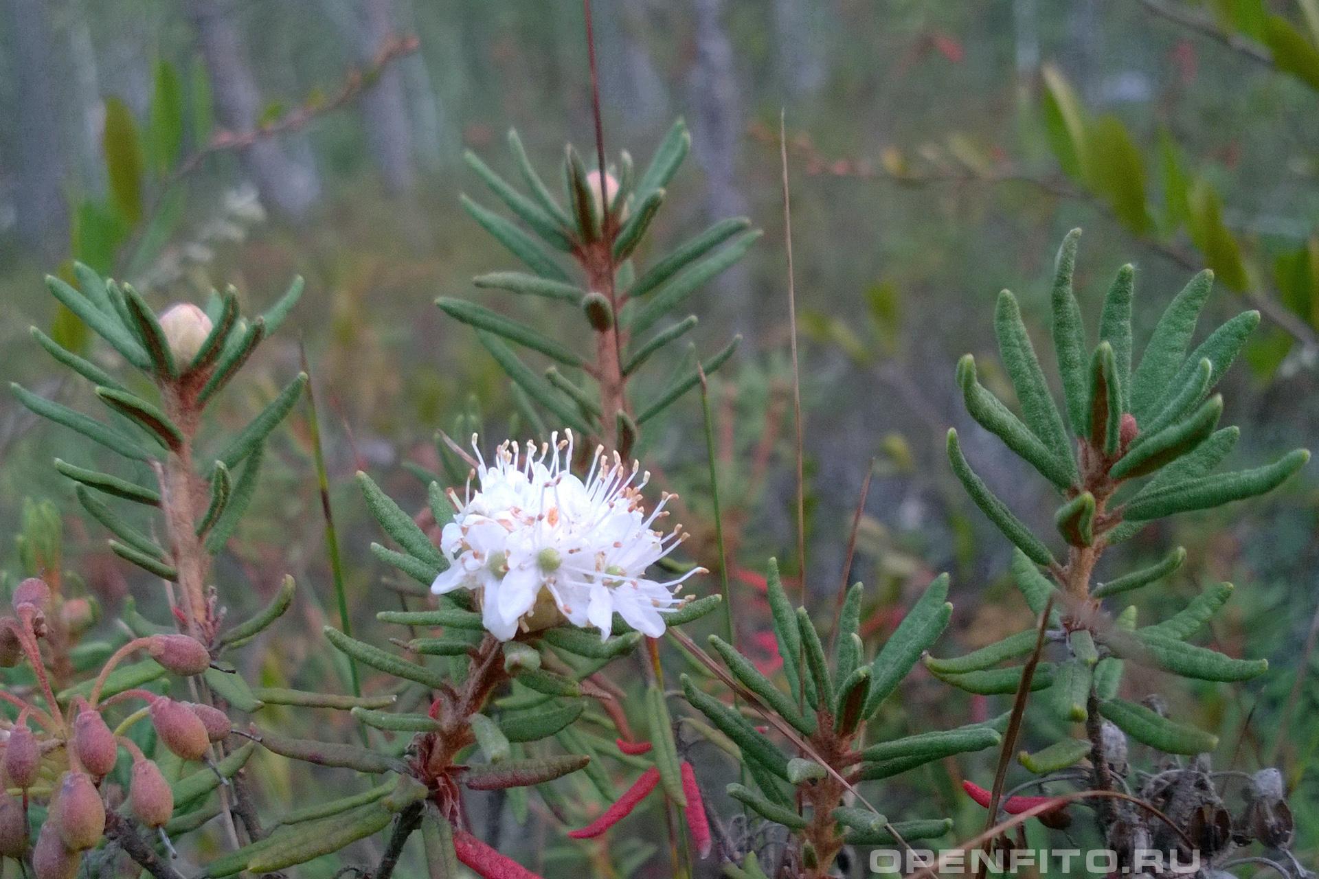 Багульник болотный Лекарственное растение произрастающее на болотах