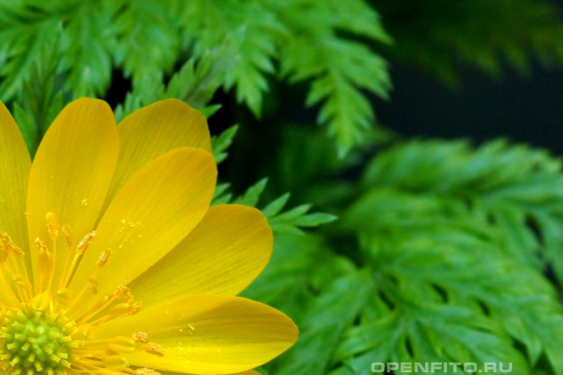 Адонис Цветок Эллады
