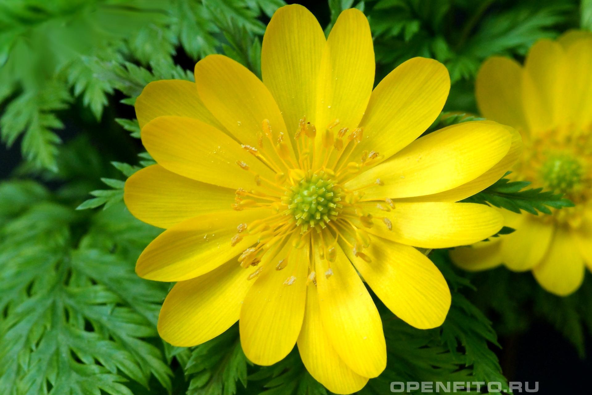 Адонис Другое название Горицвет