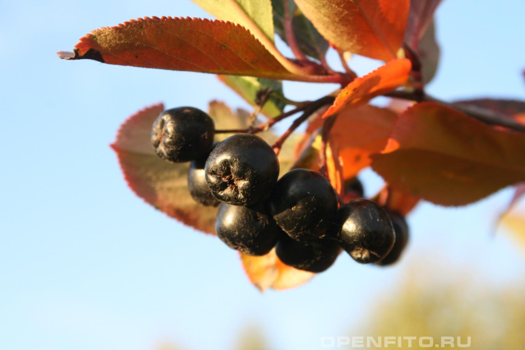 Арония черноплодная <p>другое название рябина черноплодная или арония Мичурина</p>