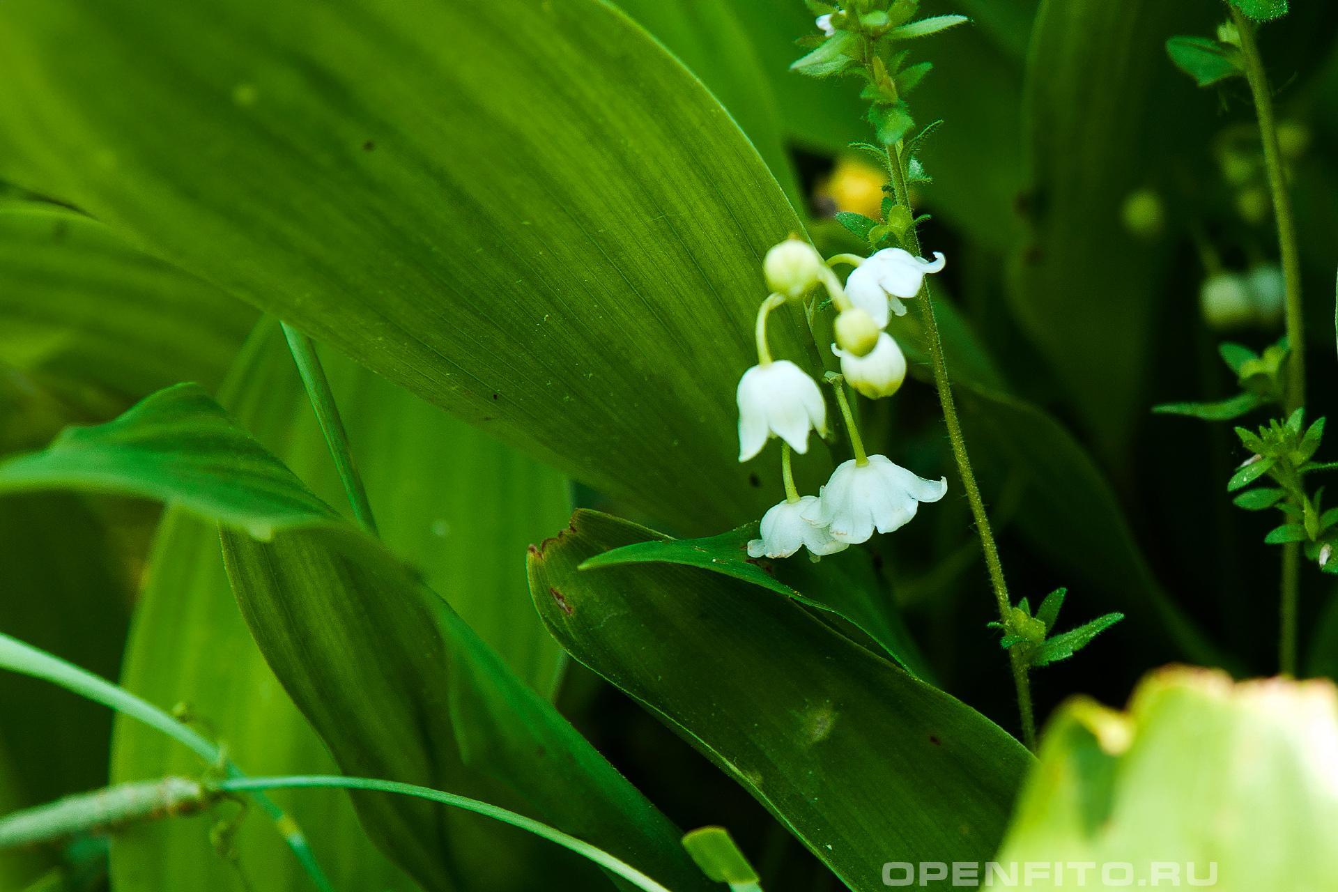 Ландыш Фото цветка и листьев