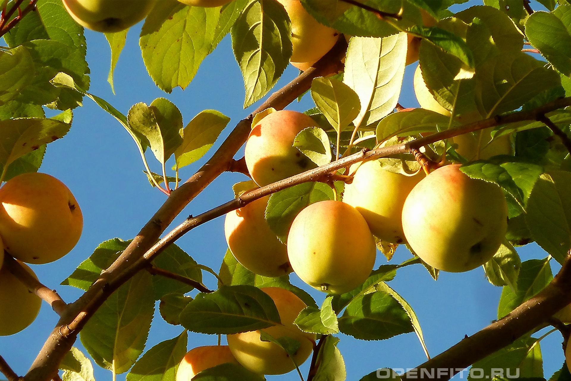 Яблоня спелые яблоки