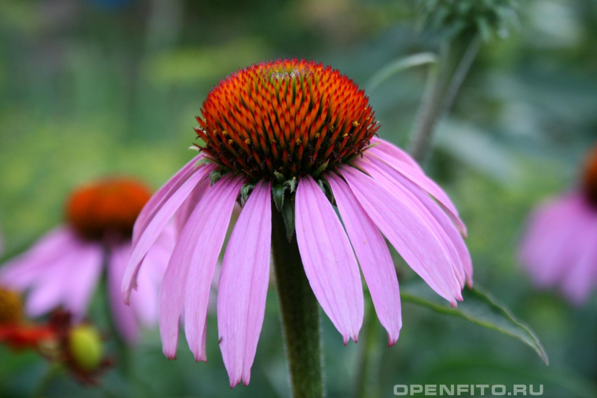Эхинацея Садовое лекарственное растение