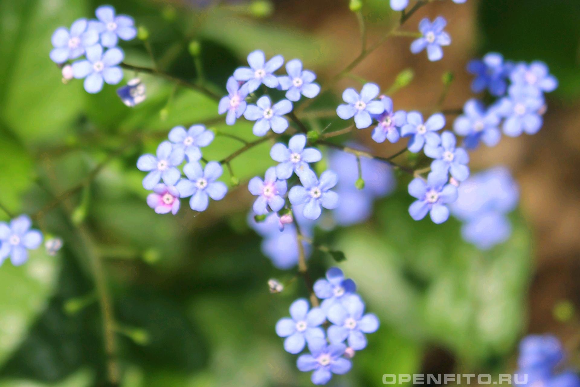 Бруннера Небольшое садовое растение
