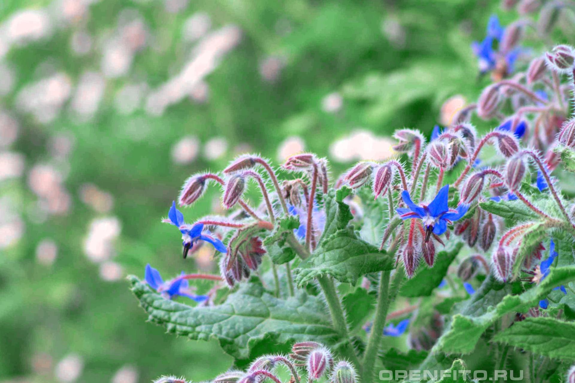 Бурачник лекарственный <p>Огуречная трава во время цветения</p>