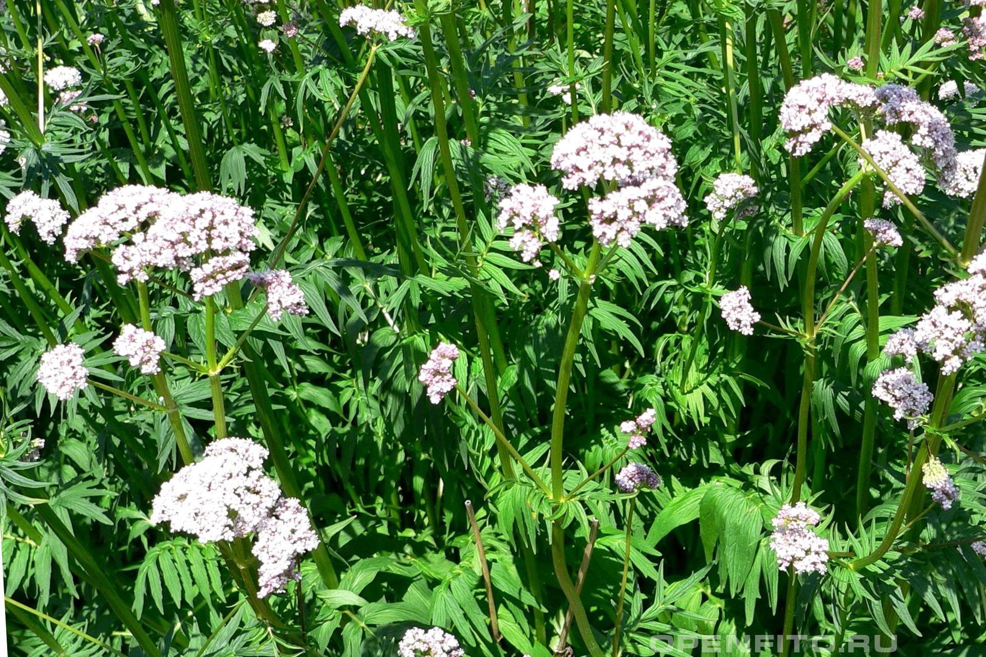 Валериана лекарственная <p>Грядка с валерианой в саду</p>