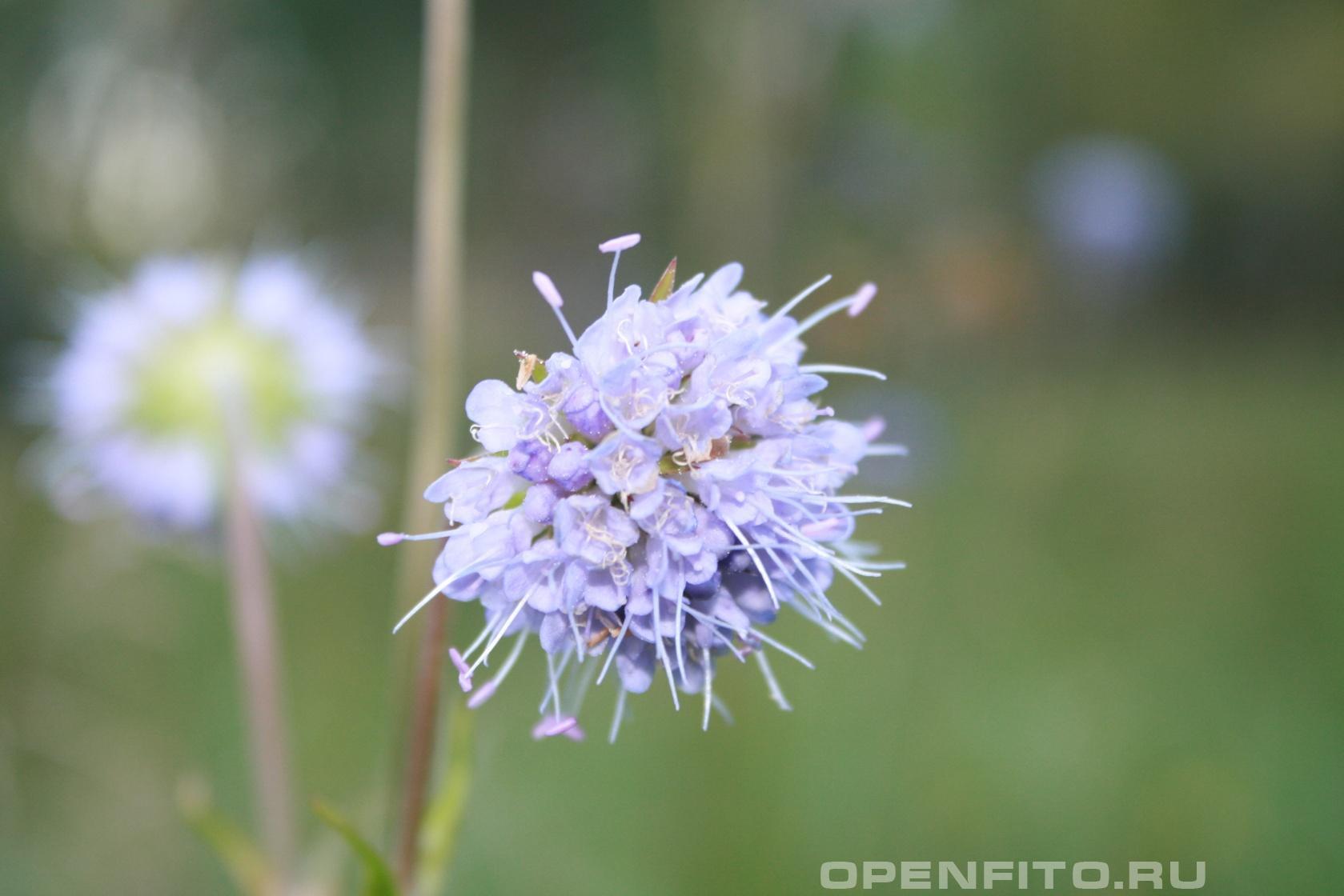 Сивец Один из самых поздних болотных цветов
