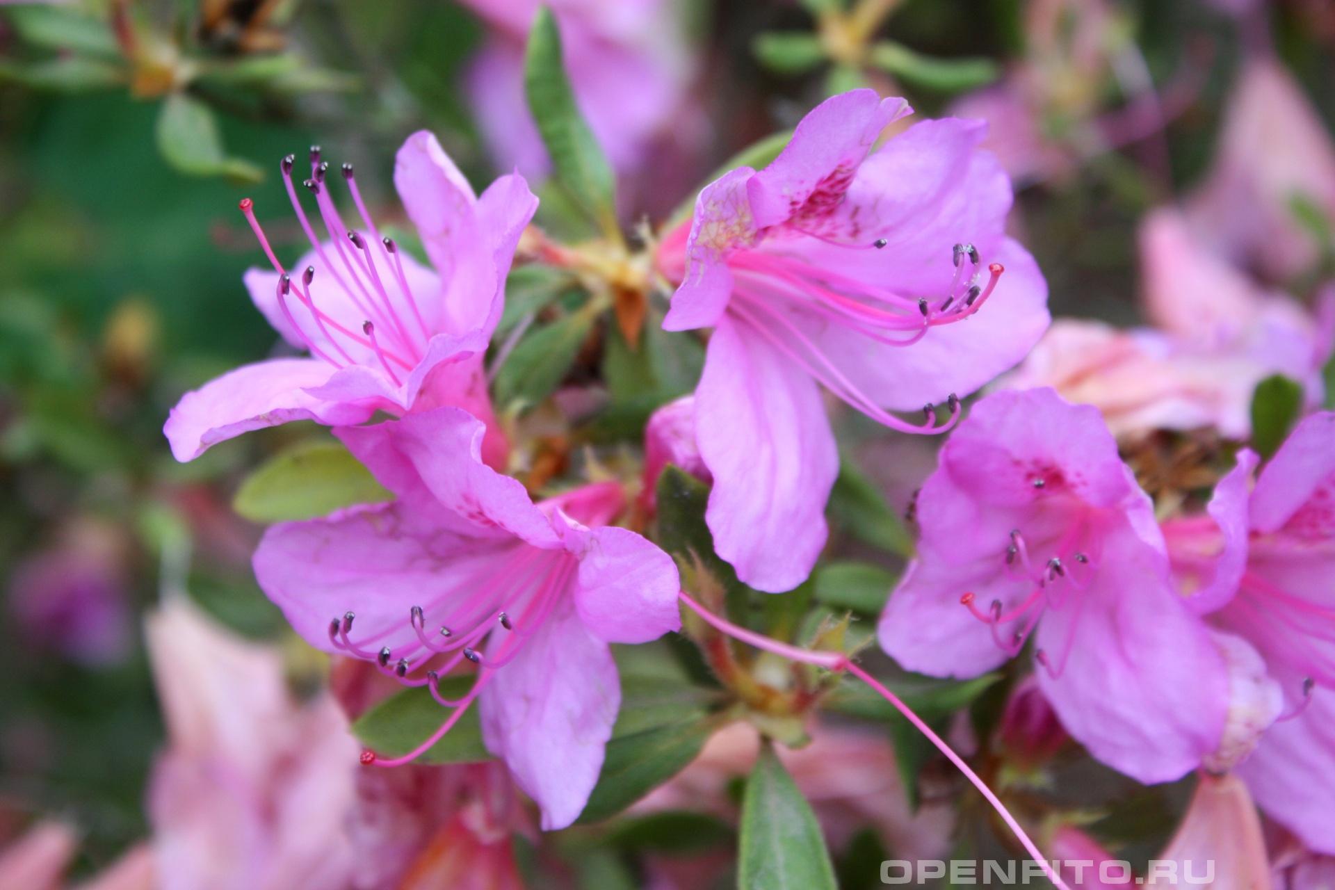 Рододендрон гибридный <p>Садовый цветок цветущий весной</p>