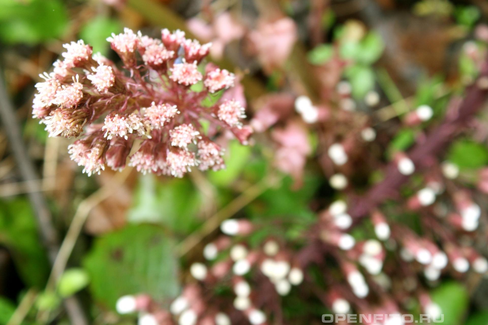 Белокопытник Весеннее растение