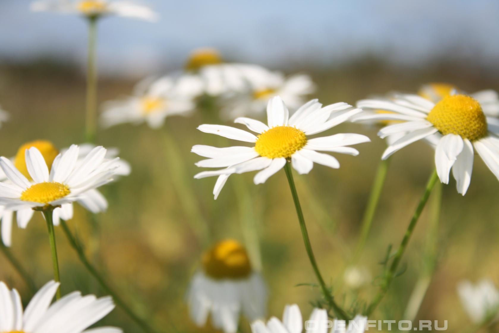 Ромашка аптечная <p>Фото цветков</p>