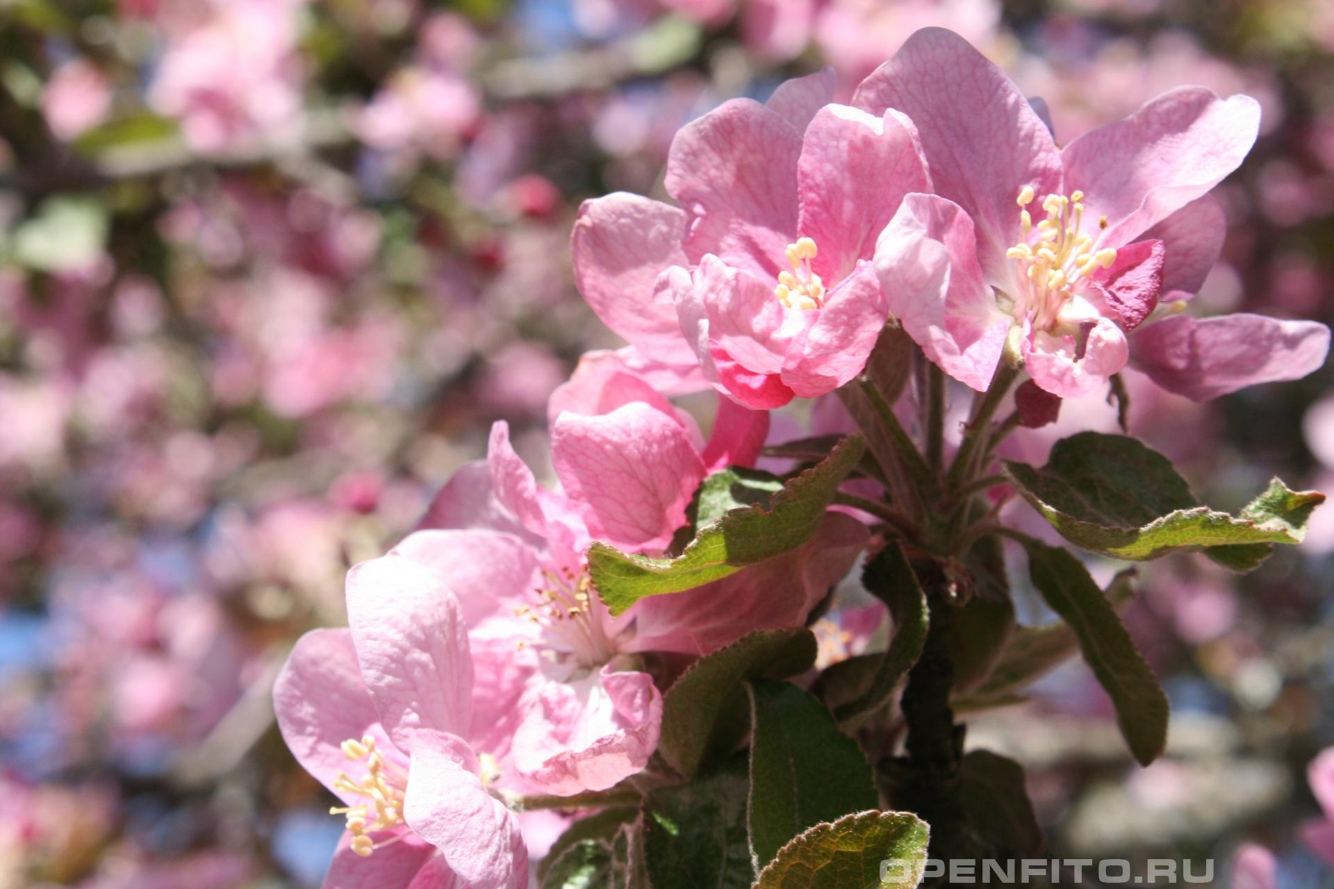 Яблоня Цветки яблони