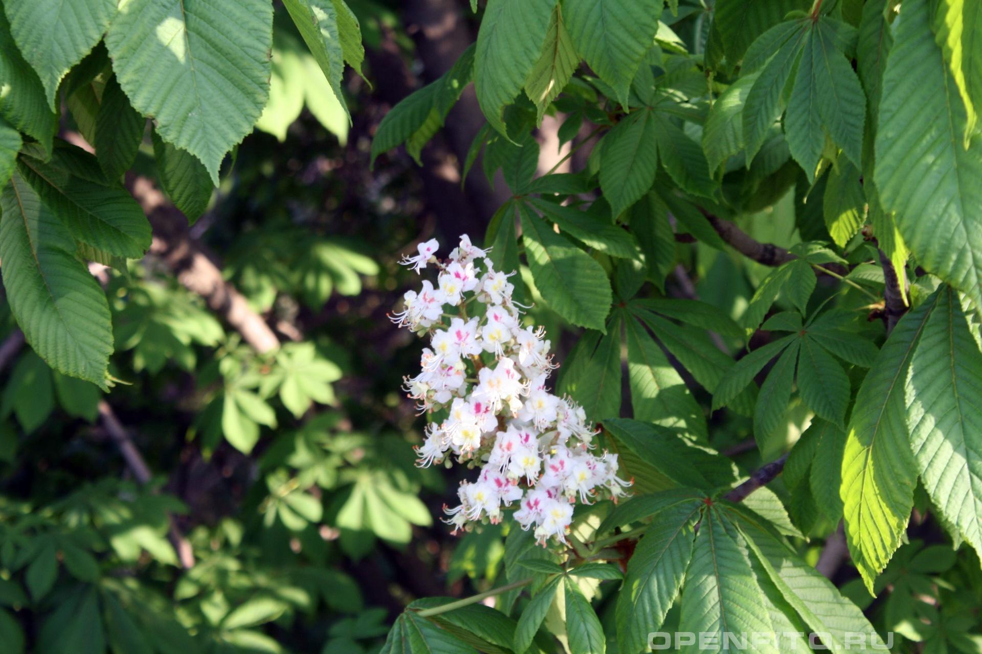 Конский каштан обыкновенный <p>в средней полосе цветет в июне</p>