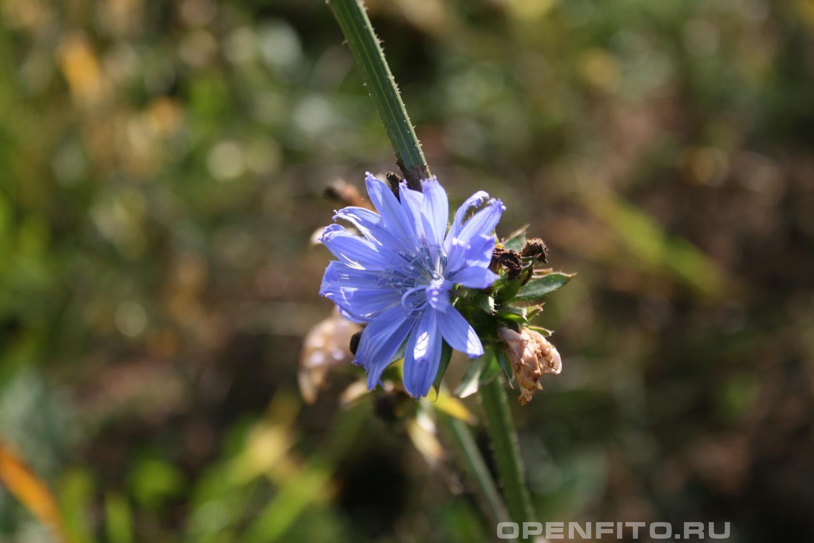 Цикорий салатный <p>Фотография цветка Цикория</p>