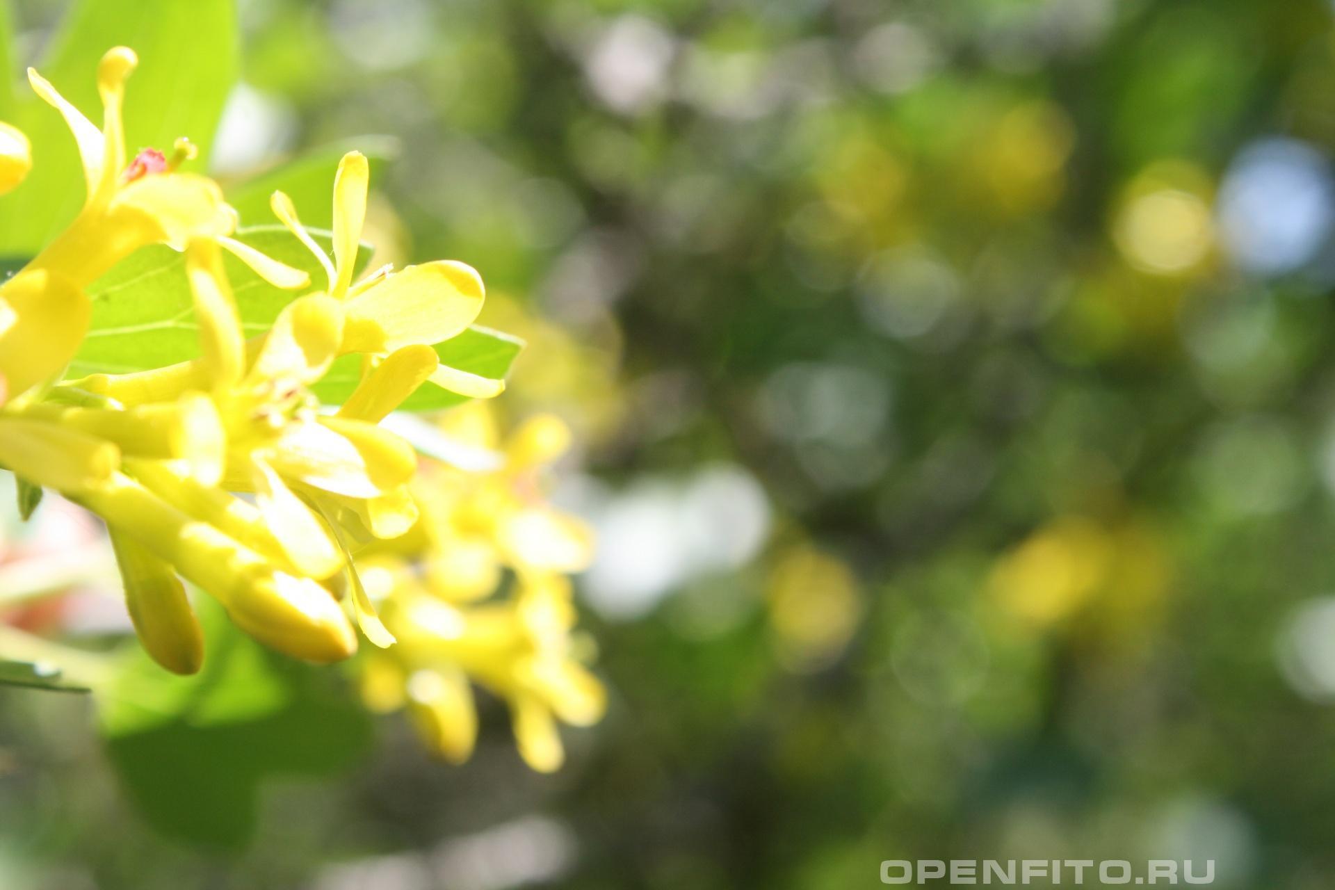 Смородина золотистая цветки