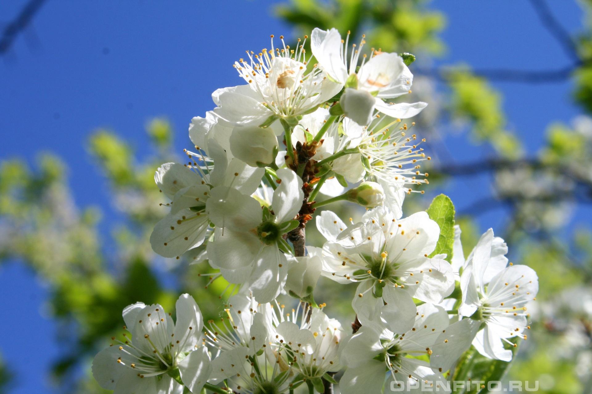 Вишня цветущая вишня