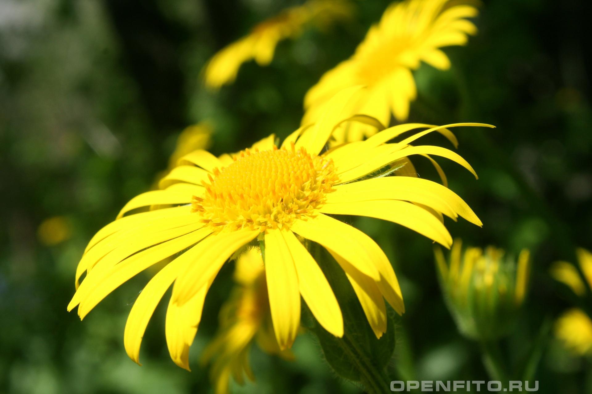 Златоцвет
