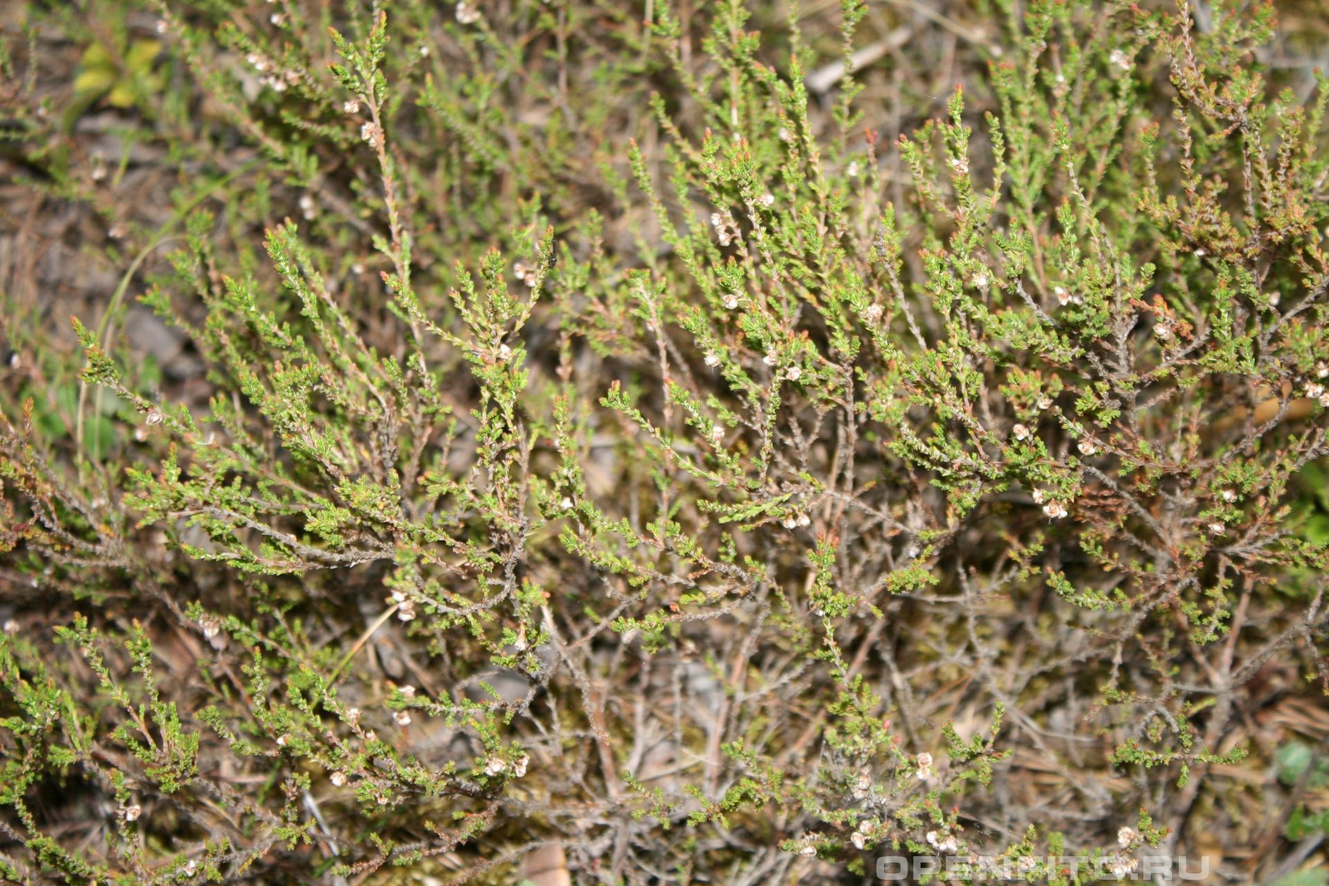 Вереск обыкновенный Небольшой кустарник